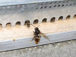 frelon asiatique et ruche